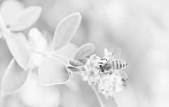 High Key Bee (PhotosbyDi) Tags: blackandwhite bw monochrome bee highkey nikond600 macromonday tamronf2890mmmacrolens
