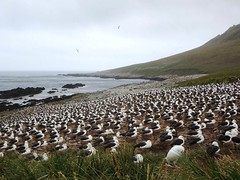 Black-browed Albatross Rookery (D-Stanley) Tags: falklandislands rookery albatross steeplejason