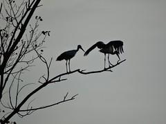 Sombras (verridrio) Tags: luz portugal sony natureza aves sombras contra cegonha silhueta mondego montemorovelho ciconia cicogna