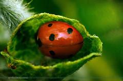 Lap Of Nature (ArvinderSP) Tags: india macro green nature insect photography leaf ladybug newdelhi hibernate naturephotography macrophotography 2014 581 natureupclose arvindersingh lapofnature arvindersp arvinderspcom
