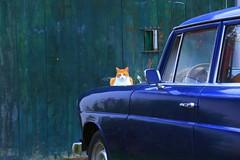 Gato (Salvador Mosquera) Tags: car animal cat gato carro animales