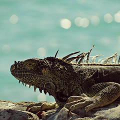 IMG_2588_fix (goatling) Tags: island seaside reptile lizard iguana tropical tropic caribbean cayman carib caymanislands tropics grandcayman caribe westbay britishwestindies gcm201412 201412gcm