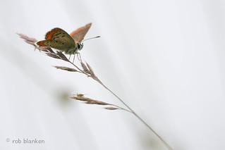 Brown Argus (Aricia agestis, bruin blauwtje)