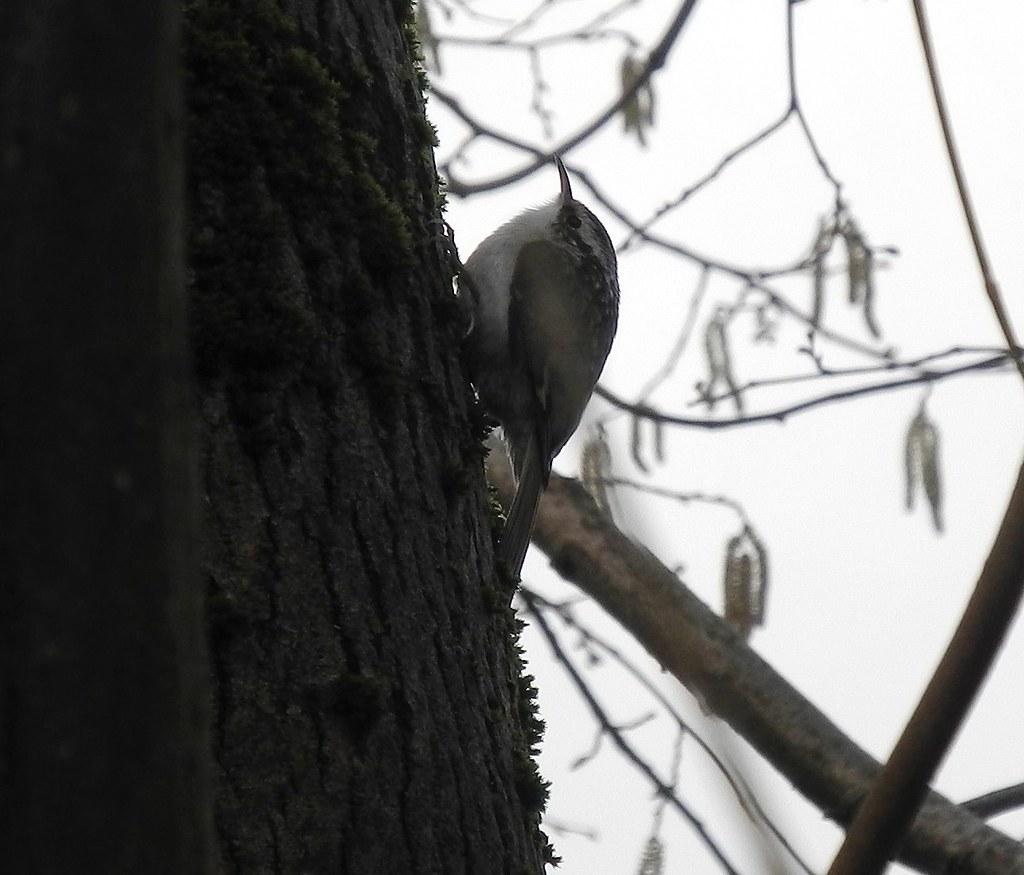 Oldwood Common Tree Creeper