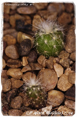 Trichocereus validus AGS (farmer dodds) Tags: cactus cactaceae seedlings ags mescaline echinopsis trichocereus trichocereusvalidus trichocereusvalidusags