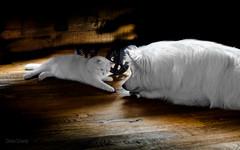 Meins! (Blochmntig) Tags: yeti whitecat samu britishshorthair catdog whitedog samojede