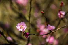 (Eddy_TW) Tags: taiwan taichung 台灣 plumblossom 武陵農場 梅花 武陵 wuling 紅梅 台中市