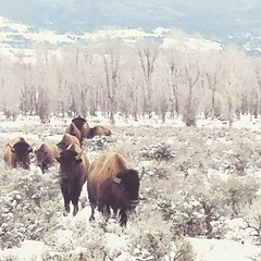 Wyoming icon this morning #snow  #wyoming  #winter  #jacksonhole (Cooke Photo) Tags: winter cold square buffalo wildlife squareformat unknown wyoming grandtetons bison jacksonhole iphoneography instagramapp uploaded:by=instagram
