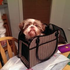 Simba in a Puppy Purse (picturetakingone) Tags: rescue dog brown eye home puppy shih tzu full purse forever tsu adopt shiningeye