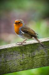 Robin (spikey1967) Tags: england lake bird nature robin k photoshop canon photography exposure wildlife expressive tamron berkshire discovery newbury lightroom 2015 thatcham 150600