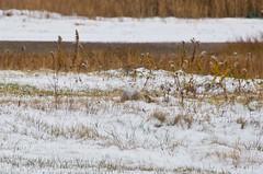 Camouflage (jp.marottta) Tags: boston ma massachusetts camouflage snowyowl massaudubon irruption buboscandiacus normsmith 02128 snowyowlproject