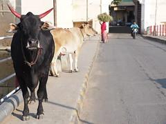 Holy Cow Udaipur Rajasthan India Heilige Kuh Indien Bridge (C) (hn.) Tags: road street bridge copyright india animal kuh cow asia asien heiconeumeyer indian north brcke indien rajasthan udaipur tier southasia copyrighted 2014 in northindia holycow indisch strase carbridge indiancow heiligekuh nordindien autobrcke sdasien indischekuh tp201415