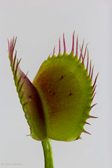 "Venus Flytrap • <a style=""font-size:0.8em;"" href=""http://www.flickr.com/photos/92159645@N05/16234242192/"" target=""_blank"">View on Flickr</a>"