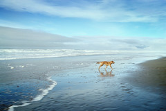 Doggin' it... (YetAnotherLisa) Tags: ocean california dog reflection beach goldenretriever golden coast mutt pacific fortfunston beaglemix