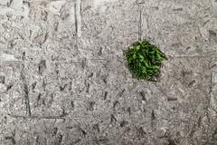 #Mexique: un mois dj! #Mexico: ya una mes! #Resilience... (ValK.) Tags: france green nature plante evolution vert vegetation fr renaissance adaptation resistance vegetal herbe flore coevolution valk resilience ecologie matiere vegetaux renaturation valeriekerleau