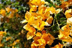Fiori Palazzo Bahia (andrea.prave) Tags: orange fleur yellow flor morocco maroc bahia marocco marrakech palais marrakesh fiori  palazzo  gialli   almamlaka   arancioni palazzobahia  almaghribiyya tourdelmarocco