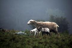 Mother-Sheep-2-Lambs (Doreeno) Tags: california coast pacific sonoma january roadtrip highway1 2015