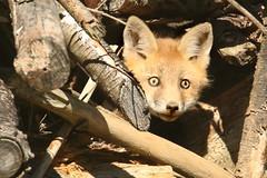 Baby Fox (Steve Byland) Tags: baby nature canon mammal fox 7d kit markii vulpes