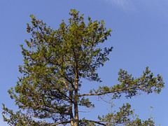P5117151 (Paul Henegan) Tags: blue tree green pine clouds shadows highlights conifer wisps earlymorninglight