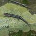 Caddo Mountain Salamander (Plethodon caddoensis)