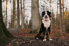 Charlie_10012016(5) (melodyide) Tags: light dog natural gorgeous bernesemountaindog bernese magiclight