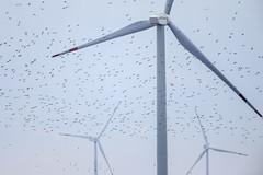 Shorebirds and windmill-Vyn-131014-2320 (paulsoninstitute) Tags: china bird windmill flying energy offshore flock group intertidalzone migration obstacle dunlin windturbine windpower collision wader kentishplover yellowsea rudong eastasianaustralasianflyway jiangsurudong windturbineandshorebirds