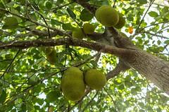 Jackfruit tree (photocat001) Tags: tree jackfruit