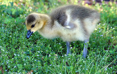 Gosling In The Grass (Kaptured by Kala) Tags: baby sunlight canada college up grass geese spring community babies texas feeding fuzzy adorable garland goose goslings growing downy richland canadensis branta foraging