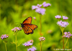 Monarch Butterfly (shywag1978) Tags: flowers flower texture nature beautiful contrast butterfly amazing nikon texas waco outdoor vibrant greenhouse monarchbutterfly d7100 nikond7100 shilowagnerphotography bonniesgreenhouse