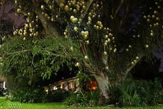 Night Blooming Cereus (disc13207) Tags: cereus nightbloomingcereus
