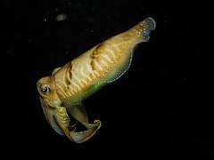Common cuttlefish (Sepia officinalis) (Thomas_SJ) Tags: camera night canon dark spain underwater dive diving scubadiving cuttlefish common mallorca marinelife underwaterphotography marineanimal marinephotography g1x