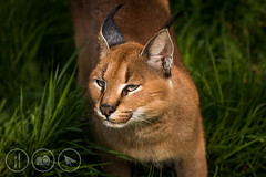 Griffin the Caracal (Adrian Court LRPS) Tags: england cats sunlight green grass animals nose kent eyes unitedkingdom wildlife ears whiskers gb griffin sanctuary bigcats caracal photoday headcorn smarden wildlifeheritagefoundation