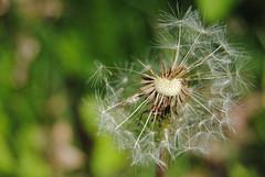 Make a Wish... (Melissalynne7) Tags: white flower macro wish