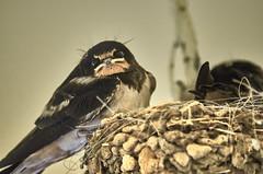jlvill 384 (jlvill) Tags: naturaleza aves pajaros 1001nights crias 1001nightsmagiccity nidadas