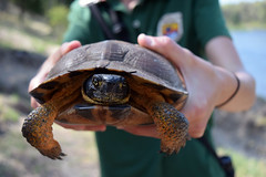 FWS Jess with Wood Turtle (U.S. Fish and Wildlife Service - Midwest Region) Tags: wood turtle research upper midwest riverine habitat improvement project riverne michigan state wildlife competitive grant spring study monitoring population dnr department natural resources phase repitle