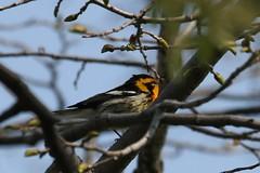 Blackburnian Warbler (Rita Wiskowski) Tags: orange tree wisconsin spring milwaukee migration lakepark warbler blackburnianwarbler milwaukeecounty
