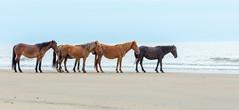 Herd of Wild Horses (brentb2012) Tags: beach herd corolla wildhorses obx