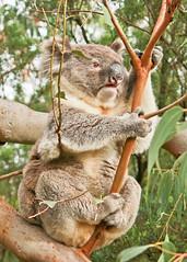 male southern koala - great otway np (3 of 3) (Daniela Parra F.) Tags: greatoceanroad greatotwaynationalpark southernkoala gum chewinggum marsupial australia australianwildlife aussiewildlife aussie animals mammal australianmammals mamifero herbivore herbivory male koala wildkoala wildlife wild wildmammals