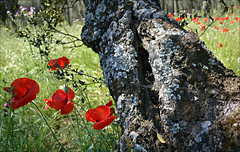 Casa de Campo 13 (Eloy Rodrguez (+ 4.700.000 views)) Tags: madrid park flowers parque espaa naturaleza flores macro primavera sports nature landscape spring spain mountainbike colores poppy poppies espagne coquelicot papaver casadecampo encinas papaveraceae papaversomniferum amapolas redpoppy papaverrhoeas redweed adormidera commonpoppy springcolors fieldpoppy cornrose flanderspoppy parquesdemadrid campodeamapolas amapolasilvestre jardinesdemadrid eloyrodrguez plantadelopio casadecampodemadrid casadecampopark potd:country=es