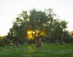 El corazn del olivo - The olive tree's heart (javiaguera) Tags: sol andalusia crdoba olivetree olivo efs1855mmf3556isii eos1200d