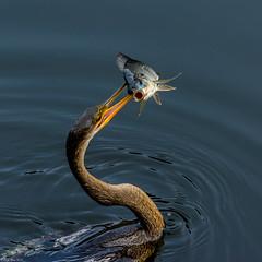 Catch of the day (Explored) (Fred Roe) Tags: nature birds wildlife birding evergladesnationalpark birdwatching anhinga birdwatcher anhingaanhinga birdwithprey nikonafsteleconvertertc14eii nikond7100 nikkorafs80400mmf4556ged lca71c7416