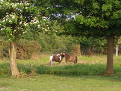 J'adore (My_adventure) Tags: trees wild horse nature animals landscape nationalpark natural outdoor pony newforest shetland wildland mirrorlesscamera pentaxq7