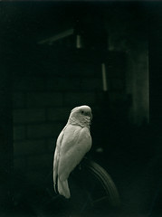 Parrots on Film! (Eric C Bryan) Tags: bird darkroom dark parrot 6x9 cockatoo ilford fp4 parrots warmtone contactprint goffins untoned semimatte
