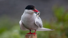 Fish supper (Wizmatt) Tags: sea portrait fish bird up photography islands coast close matthew wildlife arctic northumberland british farne tern seabird canon100400 sterna paradisaea wisby canon70d