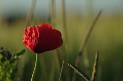 Poppy, what else? (horschte68) Tags: poppy red flower meadow grassland nature bokeh blossom dof depthoffield tair11a135mm28 m42