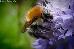 Hummel / Bumblebee (R.O. - Fotografie) Tags: flower macro nature up closeup lumix close bokeh outdoor natur panasonic bumblebee nrw blume makro fz 1000 dmc hummel willebadessen fz1000 dmcfz1000