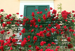 You Always Buy Me Roses (leays) Tags: flowers red roses italy plant nature rose pretty balcony