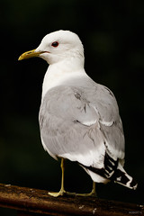 Gull Portrait v2 (zarlock81) Tags: birds scotland wildlife seagull mwe lochlomond schottland commongull laruscanus sturmmwe
