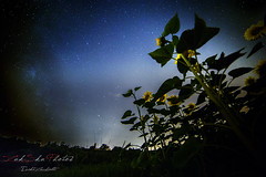 (zuk_sku) Tags: nightphotography stella night stars star nightscape sunflowers notte fvg friuli girasoli stelle fagagna friuliveneziagiulia zuksku erikazucchiatti zukskuphotos