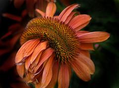 Deranged Coneflower (Vidterry) Tags: conflower deformed